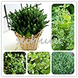 200 pcs Green Lemon Thyme Grass Seeds, herb Garden Plant Vegetable seedss Thymus citriodorus Mosquito repelling Creeping culin00-mix