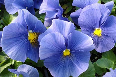 Snow Pansy Seeds Blue With Blotch 50 FLOWER SEEDS