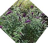 Black Knight Butterfly Bush (Buddleia) - Live Plant - Quart Pot