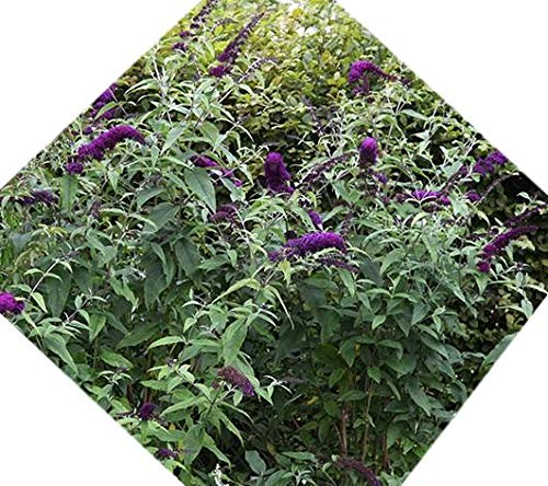 Black Knight Butterfly Bush ( buddleia ) - Live Plant - Quart Pot by New Life Nursery & Garden