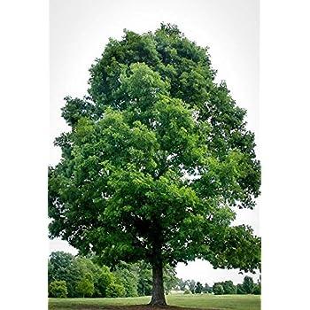Amazon.com : White Oak Tree Quercus alba Heavy Established Roots 1 ...