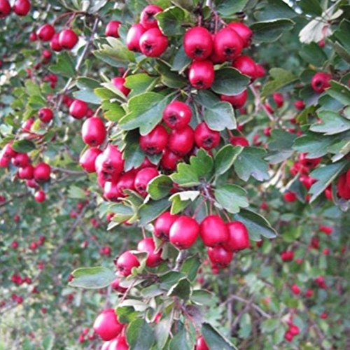 Wild Hawthorn Seeds (Crataegus monogyna) 10+ Organic Heirloom Seeds in FROZEN SEED CAPSULES for the Gardener & Rare Seeds Collector - Plant Seeds Now or Save Seeds for Many Years -