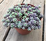 Sedum dasyphyllum minor