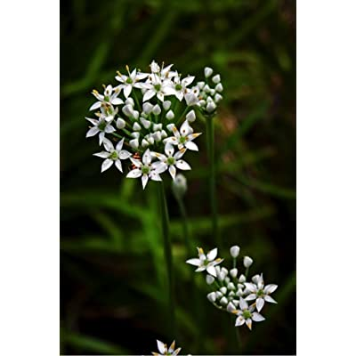 Garlic Chives (Allium tuberosum L.) Herbal Plant Heirloom Seeds, Delicious Culinary Herb : Garden & Outdoor