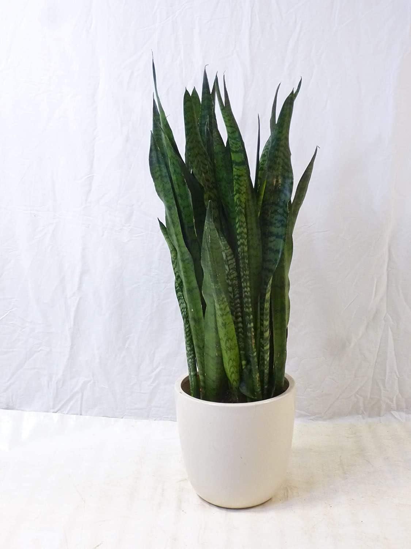 Schwiegermutterzunge//Zimmerpflanze XXL Sansevieria zeylanica 120 cm Bogenhanf Pot 31 cm /Ø Palmenlager