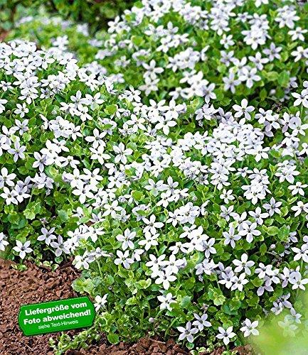 BALDUR-Garten Weiße winterharte Isotoma\