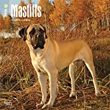 Mastiffs 2018 12 x 12 Inch Monthly Square Wall Calendar, Animals Dog Breeds (English, French and Spanish Edition)