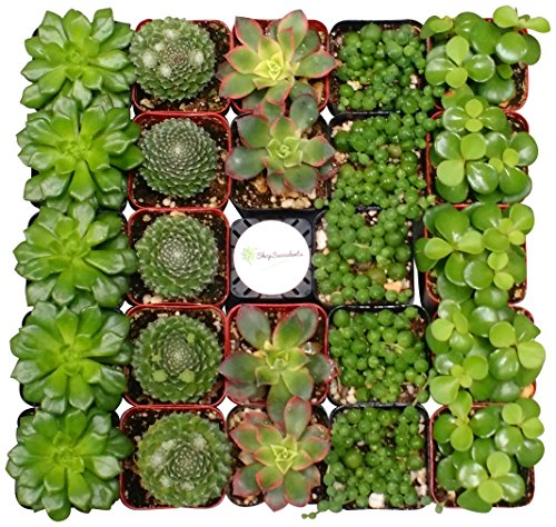 Shop Succulents Green Succulent (Collection of 256)