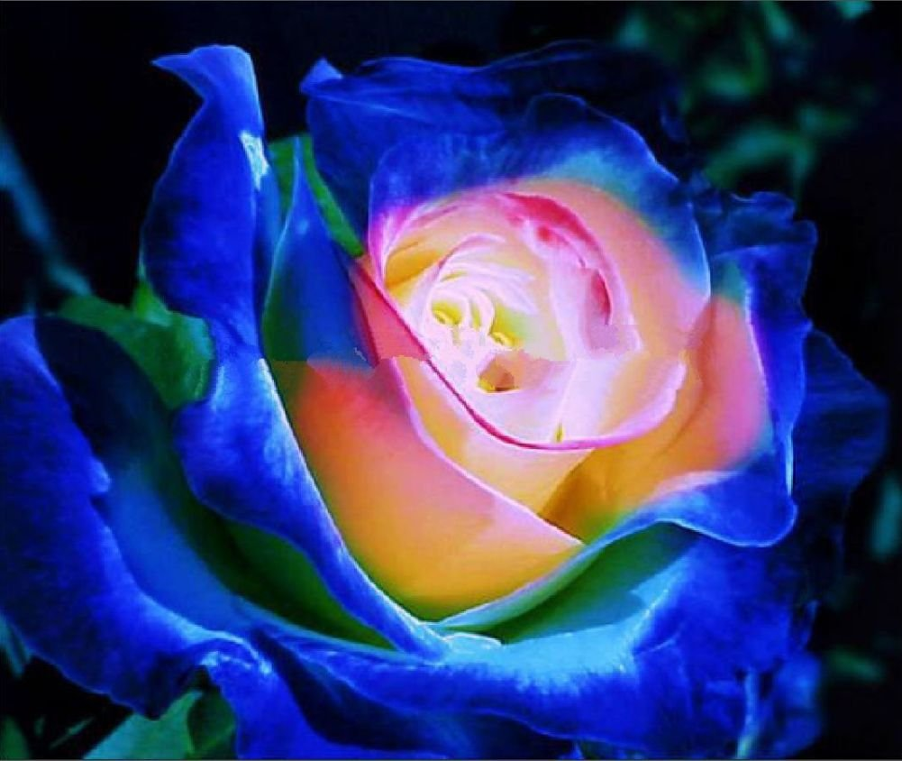 Amazon Ploy Blue Pink Yellow Rose Bush Flower Seeds