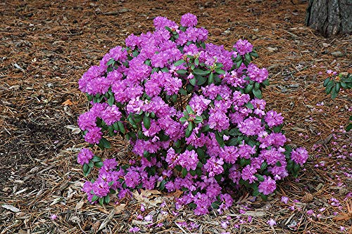 eautiful Purple Blooms - Grows Five Feet Tall - 8