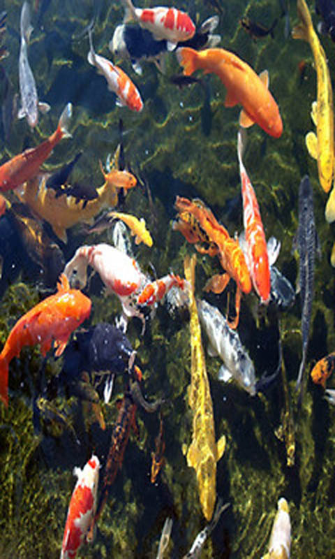 Koi fish touch live wallpaper appstore for for Garden pond amazon