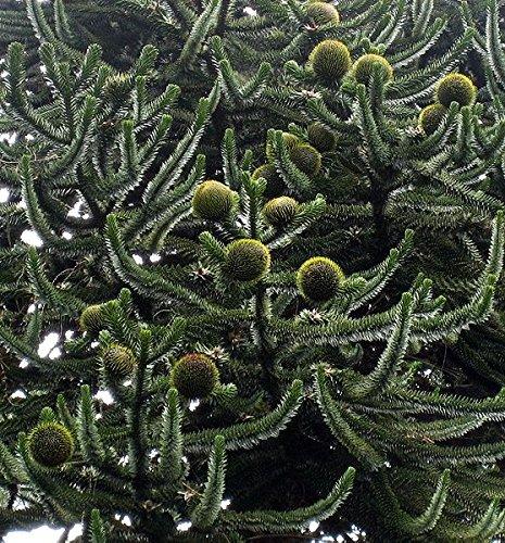 1 großer Samen Affenschwanz Tanne -Araucaria araucana- Monkeypuzzle