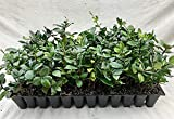 Jasmine Confederate Qty 60 Live Plants Fragrant Easy To Grow Vine Showy Blooms