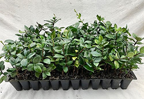 Jasmine Confederate Qty 60 Live Plants Fragrant Easy To Grow Vine Showy Blooms by Florida Foliage
