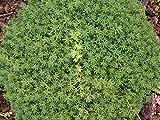 200 Sedum album Seeds - evergreen foliage Stonecrop - Extremely tough plant