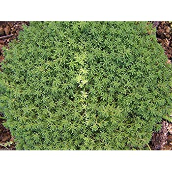 50 Seedum sarmentosum square inches great low-growing ground cover