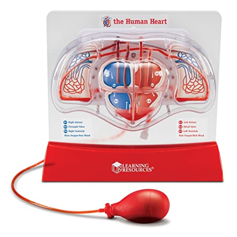 Amazon Learning Resources Pumping Heart Model Office Products