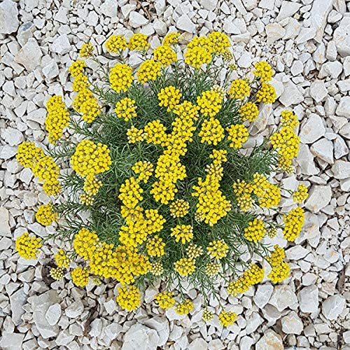 2 X LARGE HERB  CURRY  PLUG PLANTS HELICHRYSUM ITALICUM