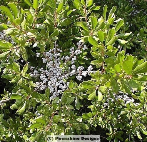 Northern BAYBERRY SHRUB 1 Gallon Size
