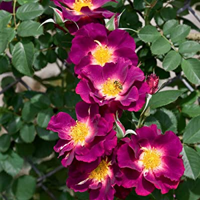 Stormy Weather Climbing Rose, Live Bareroot Plant, Purple Color Flowers (1-Pack) : Garden & Outdoor