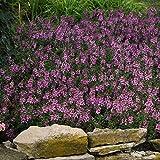 Outsidepride Angelonia Serenita Lavender Pink - 15 Seeds