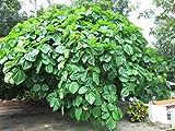 HOT - Ficus auriculata Elephant Ear FIG - Bold Hardy Fig Species! Seeds