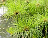 CYPERUS PAPYRUS, 100 SEEDS, pond, house, potted, grass, exotic