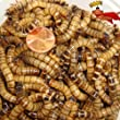 300ct Live Superworms, Feed Reptile, Birds, Fishing Best Bait (Free Shipping) by Gimminy Crickets & Worms