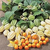 Cape Gooseberry (100 seeds) fresh this season's harvest