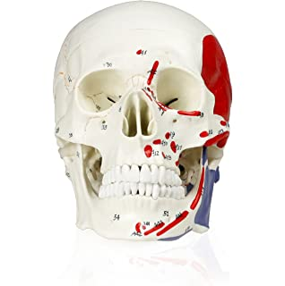Wellden Medical Anatomical Human Skull Model, Classic, 3-part, Life ...