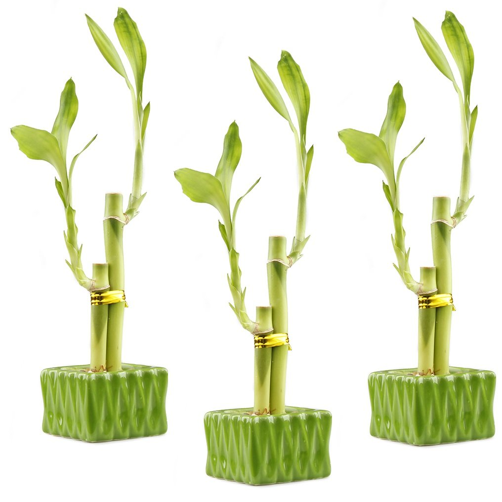 NW Wholesaler - Lucky Bamboo ''Love'' Two Stalk Arrangement with Square Accented Pot (Set of 3, Green)