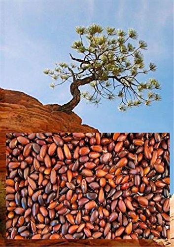 (5 Pinyon Pine Tree Seeds -Edible Pine)