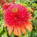 50 Double Scoop Orangeberry Coneflower Seeds - JDR Seeds