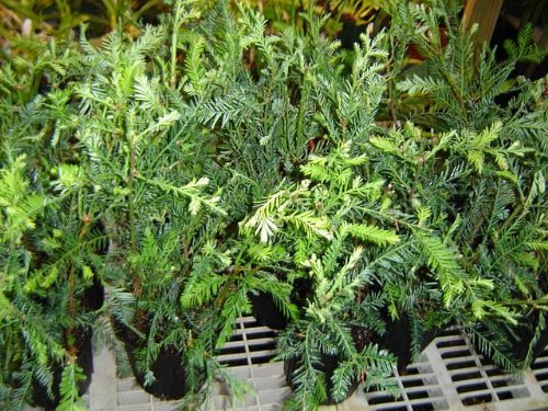 Nicely started California redwood tree - 16 inches high