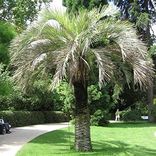 Pindo Palm Tree - Jelly Palm, (Pindo Palm), Butia capitata, Tree Seeds (Edible, Showy Tropical) 16 seeds