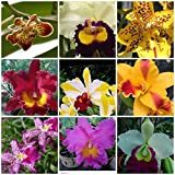 5 Live Orchid Plants (Cattleya, Oncidium, Dendrobium, Vanda, and Phalaenopsis ) Premium Beautiful Orchids - Angel's Orchids