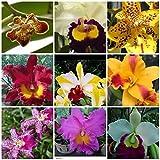 5 Live Orchid Plants (Cattleya, Oncidium, Dendrobium, Vanda, and Phalaenopsis ) Premium Beautiful Orchids - Angel's Orchids