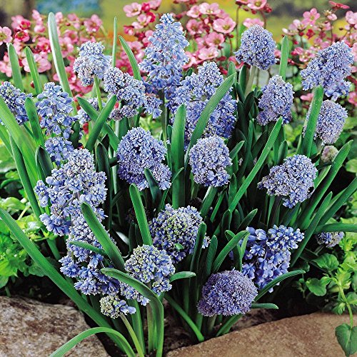 Muscari armeniacum Blue Spike - 20 Flower Bulbs