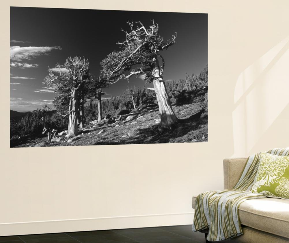 View of Bristlecone Pines (Pinus Aristata), Arapaho National Forest, Colorado, USA Wall Mural by Adam Jones 48 x 72in