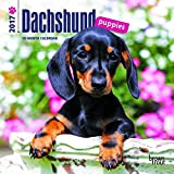 Dachshund Puppies 2017 Mini 7x7