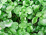 200+ ORGANICALLY Grown Watercress Seeds Heirloom Non-GMO Delicious and Healthy, Superfood! Easy to Grow! from USA