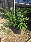 PlantVine Cyrtomium falcatum, Japanese Holly Fern - 6 Inch Pot (1 Gallon), 4 Pack, Live Plant
