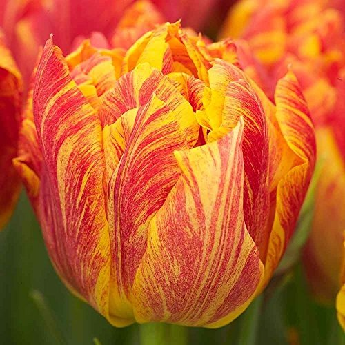 15 Tulip Bulbs,Monte Orange.Flowers are huge, up to 6