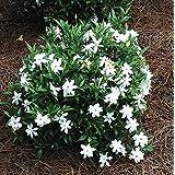 Frost Proof Gardenia ( Cape Jasmine ) - Live Plant - Quart Pot