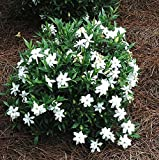 Frost Proof Gardenia ( Cape Jasmine ) - Live Plant - Quart Pot