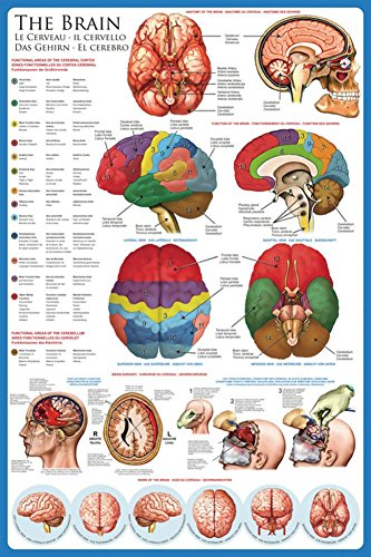 The Brain Anatomy Poster