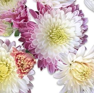 Destino Berry Parfait Chrysanthemum Seeds UPC 6600188193817 + 1 Free Plant Marker (120)