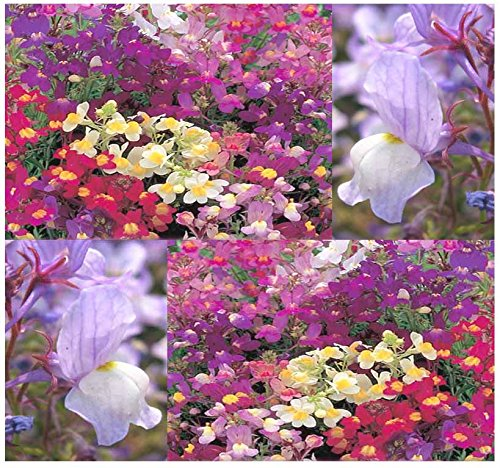2 BIG PACK - 2 Packs x (406,000) FAIRY BOUQUET Dwarf Mix & NORTHERN LIGHTS Tall Mix BABY SNAPDRAGON Seeds - Linaria maroccana - Flower Seeds By MySeeds.Co (BIG PACK (Snapdragon Mix)