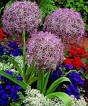 Amazon allium christophii flower bulbs plant outdoors allium christophii flower bulbs plant outdoors perennial spring flowers mightylinksfo
