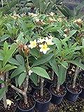 Plumeria Spp., Frangipani - 3 Gallon Live Plant - 4 pack